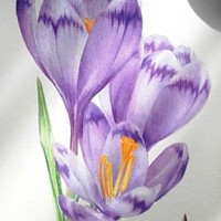 Crocus heuffelianus - watercolour