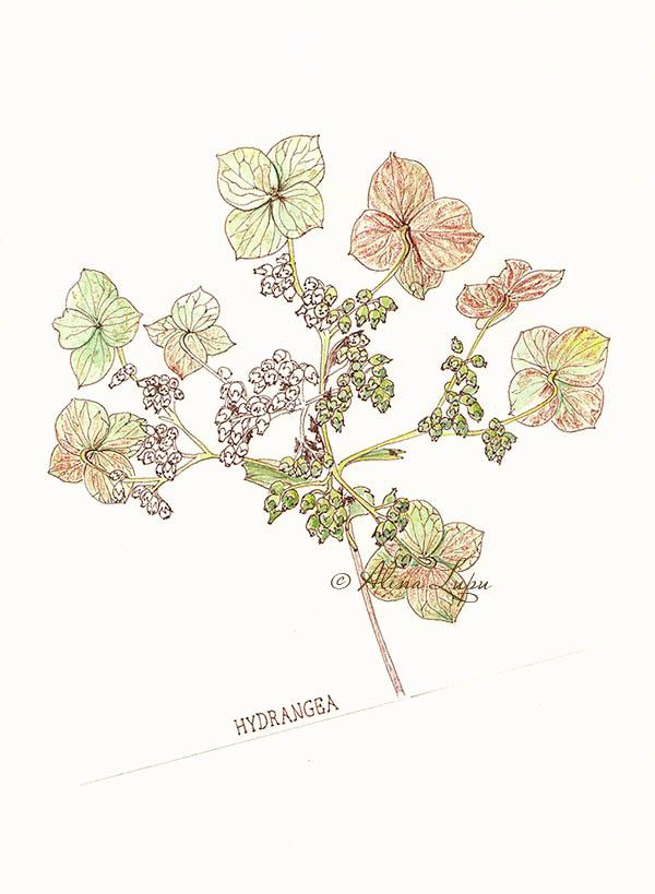 Hydrangea quercifolia sketch