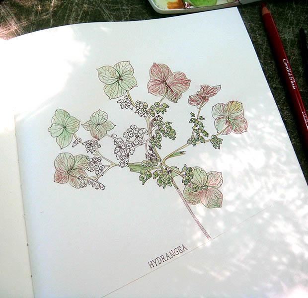 Hydrangea quercifolia sketchbook