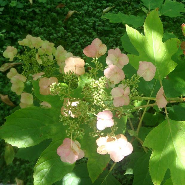 Hydrangea quercifolia photo