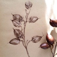 Paulownia tree fruits - ink drawing