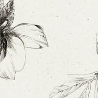 Helleborus niger - ink sketch