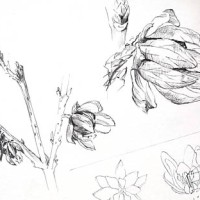 Chimonanthus and hammamelis - flower and fruit sketch
