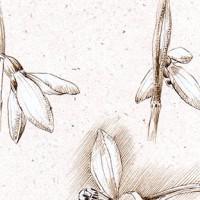 Snowdrop flower study