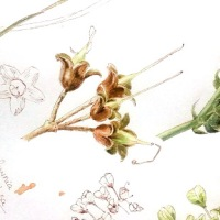 Botanical sketches - S23/ june 2020