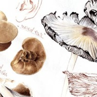 Botanical journaling - June Mushrooms