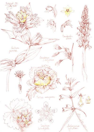 Botanical Journaling - Sketchbook 1-5 - Retezat Mountains Flora by Alina Lupu