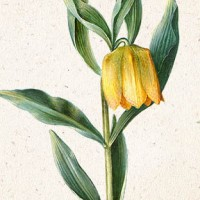 A Selection of Fritillaria Flowers