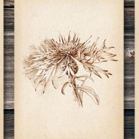 Botanical Art Drawings - Centaurea Series