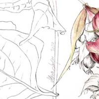Botanical study - Leycesteria formosa