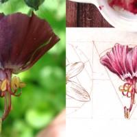Daily Sketches - June 30 Flowers - 5. Geranium phaeum