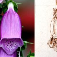 Daily Sketches - June 30 Flowers - 11. Digitalis purpurea