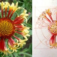 Daily Sketches - 10. Gaillardia x grandiflora 'Fanfare'