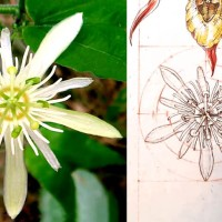 Daily Sketches - 19. Passiflora