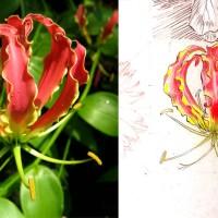 Daily Sketches - June 30 Flowers - 8. Gloriosa superba