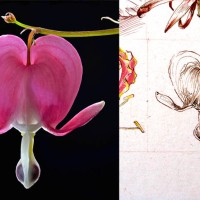 Daily Sketches - June 30 Flowers - 9. Lamprocapnos spectabilis